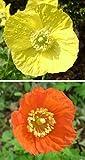 AGROBITS Welsh - Meconois ri - gemischt gelb und orange 200+ sehen