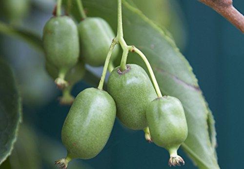 50 Kiwi Samen Actinidia arguta, Kiwai, Kiwibeere, scharfzähniger Strahlengriffel