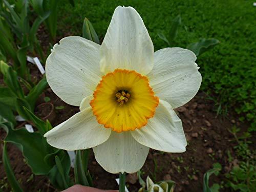 Wühlmausschreck Wühlmausstopp Narzissen La Riante Osterglocken(50 Blumenzwiebeln)