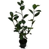 3 x Aronia Pflanze drei verschiedenene Apfelbeeren Sorten: - Aron - Viking - Nero - Aronia melanocarpa
