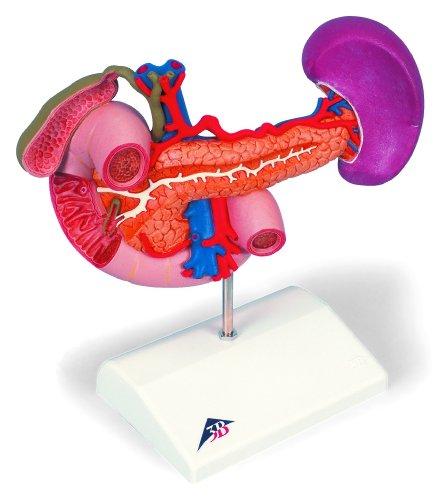 3B Scientific K22/2  Modello di Anatomia