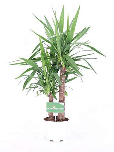 pianta da interno di yucca elephantipes v17