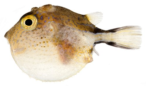 poster-canthigaster-rostrata-inflated-caribbean-sharp-nose-puffer-this-image-was-taken-a-fujifilm-fi