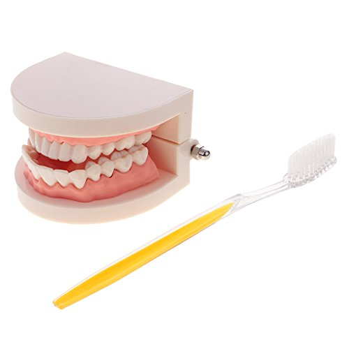 MagiDeal 1: 1 Zähne Modell Mündliche Zahnpflegemodell mit Zahnbürste Set Pädagogisches Lehrmodell