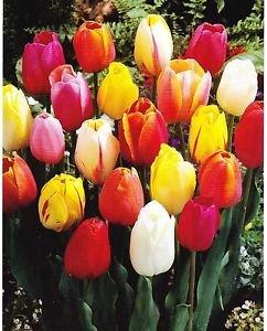 garthwaite-nurseries-50-mixed-darwin-hybrid-tulip-bulbs-spring-flowering-hardy-garden-perennial