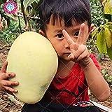 Vistaric 2 Stück ngGaint Mango-Samen, seltene Mango-Baum-Samen, Bonsai-Baum-Samen, Bio-Erbstück-Frucht-Lebensmittel-Samen, Mango-Topf für den Gartenbau