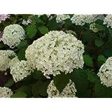 Ballhortensie 'Annabelle' - Hydrangea arborescens 'Annabelle' - Hortensie von Native Plants