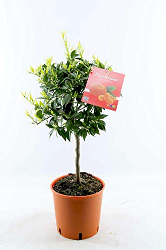 Mandarinenbäumchen 80 cm - Citrus reticulata - Mandarine (Pflanze)