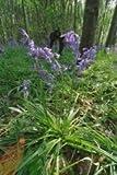 JustSeed Atlantisches Hasenglöckchen, Britische Wildpflanze, 500 Samen, Großßpackung