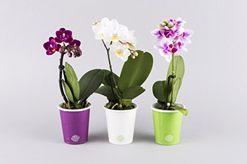 mini-orchid-eco-plant-pots-available-as-individual-plants-or-a-set-of-four-phalaenopsis-spike-ideal-