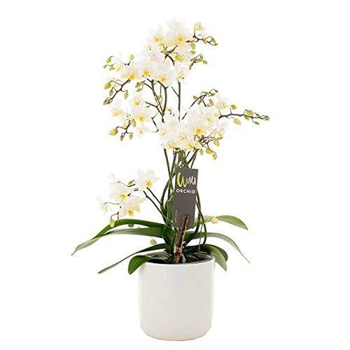 FloraStore - Phalaenopsis Blanc Willd 4 branches (1x), Hauteur45 CM, Pot Ø 12 CM, Plante d'Intérieur