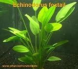 3 Töpfe Echinodorus Foxtail, Wasserpflanze