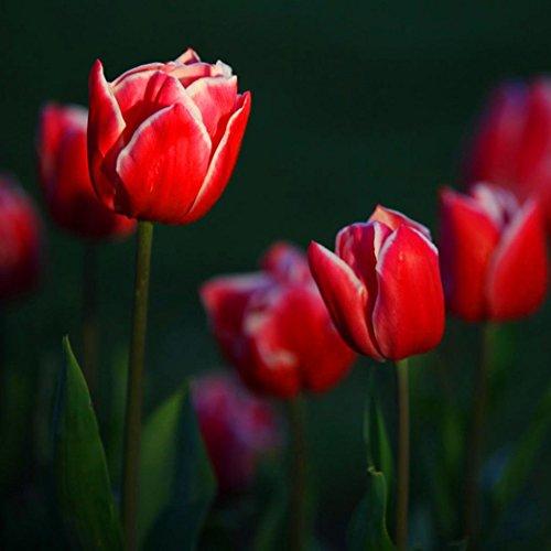 tulipe 41