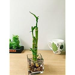 Easy Plants - Jarrón de bambú de la Suerte con Piedras (3 Unidades), Growing in Cube Glass Vase
