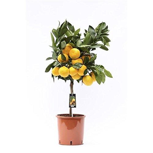 satsuma-citrus-tree-in-a-22cm-pot-85cm-tall