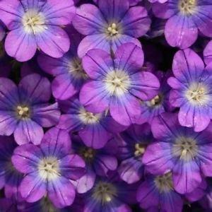 Venus Spiegel Blau Bodendecker Samen (Legousia Speculum) 800 + Seeds