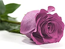 Verdissimo-Rosaamorosa50cmpúrpurae.20