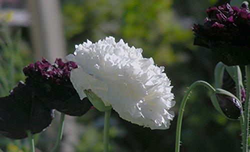 ohn 100 Samen Schöne große weiße Blumen für Ihren Garten ()