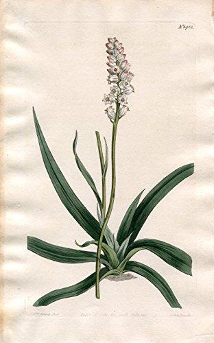 Aletris Farinosa - White-Flowered American Aletris. Altkolorierter Kupferstich (Aus: Curtis' Botanical Magazine, No. 1418).