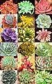 Echeveria Mischung - 20 samen,Sukkulenten samen - von grow your secret garden - Du und dein Garten