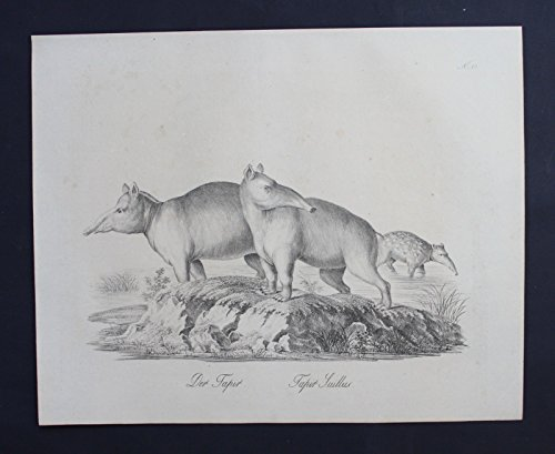Tapir Tapire animal Tiere Inkunabel Lithographie Brodtmann lithograph