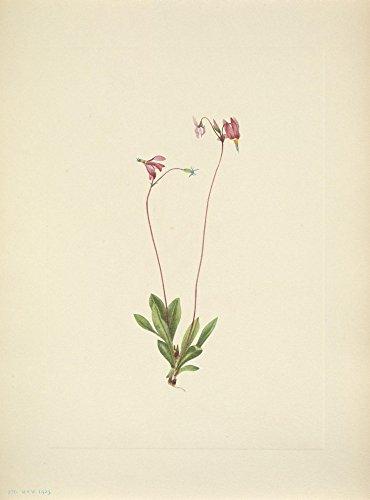 Mary V. Walcott – N. American Wild Flowers 1925 Slender Shootingstar Kunstdruck (60,96 x 91,44 cm)