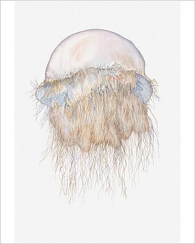 photographic-print-of-illustration-of-nomura-s-jellyfish-nemopilema-nomurai