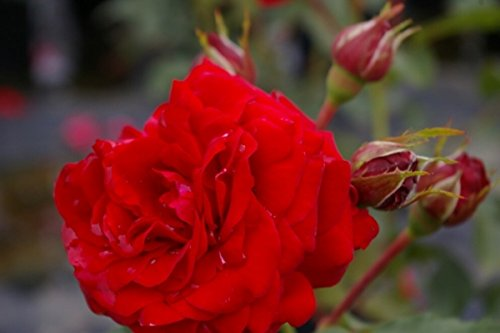 Beetrose Auffällige Blütenfarbe