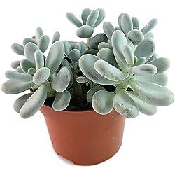 Fangblatt - Pachyphytum oviferum - die mexikanische Mondsteinpflanze - pflegeleichte Sukkulente - Zimmerpflanze für das sonnige Fensterbrett