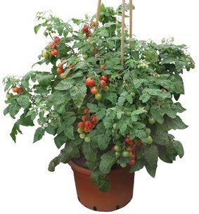 siderno-f1-balkontomate-tomatenpflanze-tomaten-pflanzen-2-pflanzen-im-topf