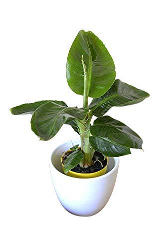 Zimmerpflanze für Wohnraum oder Büro – Musa dwarf Tropicana – Bananenbaum. Höhe 30cm