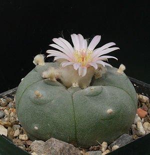 Lophophora Mix 50 Samen Frische Ernte, Peyote, Ariocarpus (Big-Pack) - Kaktus Mix