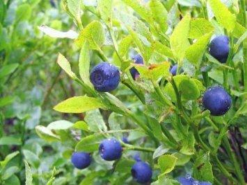 Heidelbeere 20+ Samen Absolut - Winterhart Hochstamm von Samenchilishop auf Du und dein Garten