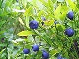 Heidelbeere 20+ Samen Absolut - Winterhart Hochstamm