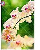 Semillas de flores de orquídeas 100PCS de semillas para el jardín de las semillas de orquídea Phalaenopsis para estudiar en casa de compra-directo desde China-orquidea semente 6