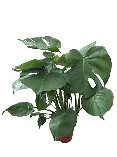 Köstliche Fensterblatt, (Monstera delicosa), pflegeleichte Zimmerpflanze, (ca. 45cm hoch, im 12cm Topf)