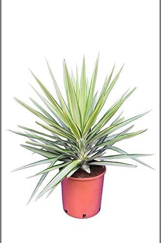 Zimmerpflanze - Yucca elephantipes Jewel - Gesamthöhe 70-90cm Topf Ø 26cm