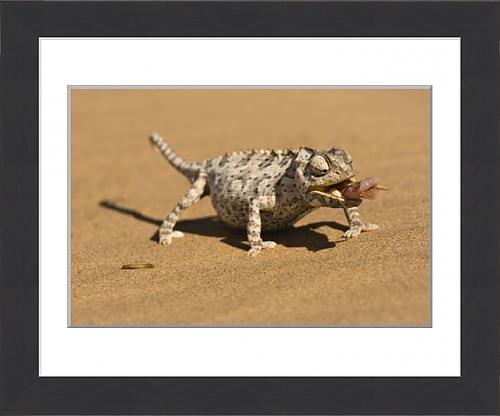 framed-print-of-namaqua-chameleon-chamaeleo-namaquensis-wraps-its-tonge-around-a-grub-worm