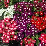 Go Green Verbena Flower Super Mixed-50 Seeds