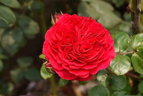 100 Stück Kletterrosen, bunt, für Garten, Haus, Balkon, Zäune, Hof, Dekoration Blumen, Pflanzen - Rosa Leonardo da Vinci Seeds