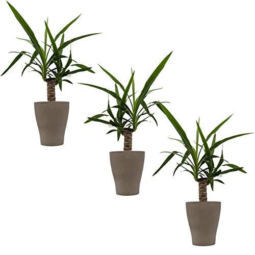 Palmlilie cm Topf-Ø