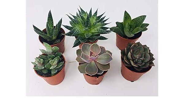 8 x Aloe Vera 4 Cactus 4 Aloe Vera Cactus Plant Mix Indoor//Office Plants