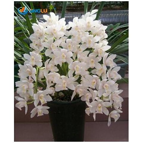 I semi in vaso fiori di orchidea, Cymbidium Semi, Cicala Orchidea, Cymbidium quando la fioritura, 50pcs /