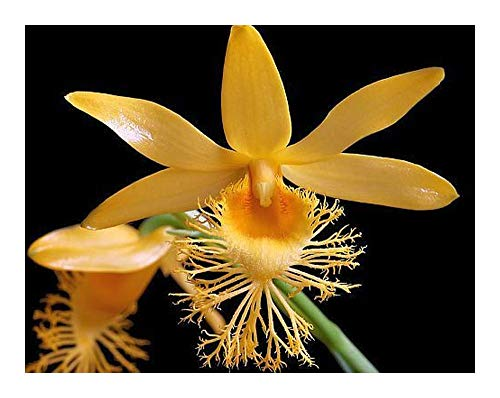 Dendrobium brymerianum - orchidées - 100 graines