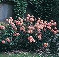 'Freisinger Morgenröte' -R-, Strauchrose in A-Qualität Wurzelware von Rosen-Union bei Du und dein Garten