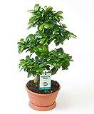 """Bonsai""""Ginseng"""" S-Form Höhe 50-55 cm Topf-Ø ca. 22 cm Ficus microcarpa"""