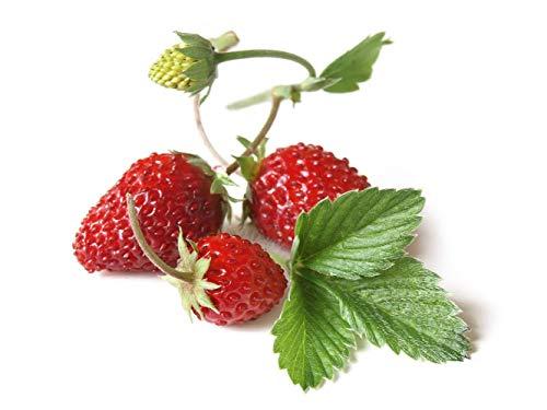 "Asklepios-seeds® - Fragaria vesca""Regina"" Wald-Erdbeere, großfruchtig 10.000 Samen"