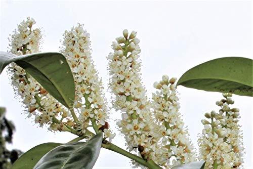 Kirschlorbeer 'Novita' - Kräftige Pflanze im 5 lt.-Topf, 40-60 cm