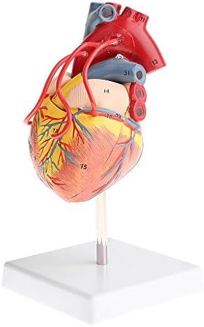 MagiDeal 1: 1 Modèle Coeur Humain Anatomique Outil D'enseigneHommes t Scolaire | Achats En Ligne