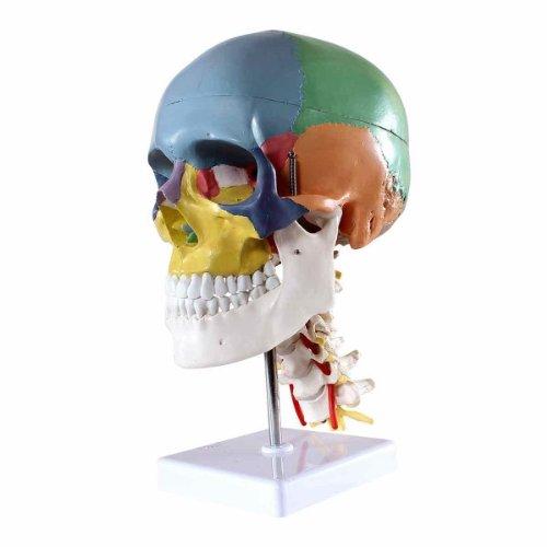 s24.2301- Modelo del cráneo con fines educativos (incluye vértebras, 4 piezas)